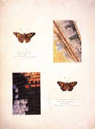Studies of a Tortoiseshell butterfly and a Painted Lady butterfly, 1887